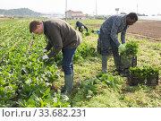 Купить «Farmers work on field - harvest and clean spinach», фото № 33682231, снято 15 апреля 2020 г. (c) Яков Филимонов / Фотобанк Лори