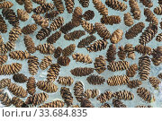 Купить «Assorted pine cones between two tempered glass plates in the First-Nations garden, Montreal Botanical Garden, Quebec, Canada.», фото № 33684835, снято 18 мая 2019 г. (c) age Fotostock / Фотобанк Лори