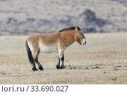 Asie, Mongolie, Parc national Hustai, Cheval de Przewalski (Equus caballus przewalskii ou Equus ferus przewalskii), relâché à partir de 1993 dans le parc... Стоковое фото, фотограф Morales / age Fotostock / Фотобанк Лори