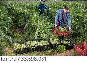 Купить «Young man carrying crates with artichokes», фото № 33698031, снято 28 мая 2020 г. (c) Яков Филимонов / Фотобанк Лори