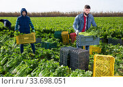 Купить «Two men carrying crates with harvested celery», фото № 33698051, снято 28 мая 2020 г. (c) Яков Филимонов / Фотобанк Лори