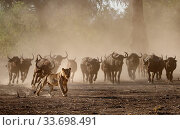 Lion (Panthera leo) chased by a defensive herd of African Buffalo (Syncerus caffer) Mana Pools National Park, Zimbabwe.                                                                           Using termite mound to reach for food                                                                                Mana Pools National Park Zimbabwe Sept 2019                                                                        Lion (Panthera leo)  African Buffalo (Syncerus caffer)  Mana Pools National Park Zimbabwe Sept 2019. Стоковое фото, фотограф Tony Heald / Nature Picture Library / Фотобанк Лори