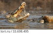 Nile crocodile (Crocodylus niloticus) feeding on carcass of  Hippopotamus (Hippopotamus amphibius), Mana Pools National Park. Zimbabwe. Стоковое фото, фотограф Tony Heald / Nature Picture Library / Фотобанк Лори