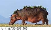 Hippopotamus  (Hippopotamus Amphibius) with back covered in water... Стоковое фото, фотограф Tony Heald / Nature Picture Library / Фотобанк Лори