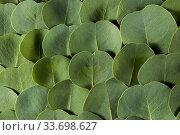 Купить «Natural background from close up evergreen Eucalyptus leaves.», фото № 33698627, снято 30 января 2020 г. (c) Ярослав Данильченко / Фотобанк Лори