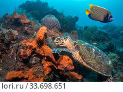 Купить «Hawksbill turtle (Erethmochelys imbricata) feeding on tropical reef, Tulamben, North coast, Bali, Indonesia. Lesser Sunda Islands.», фото № 33698651, снято 11 июля 2020 г. (c) Nature Picture Library / Фотобанк Лори