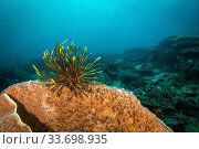 Купить «A crinoid, also known as a feather star on hard coral in Raja Ampat, West Papua, Indonesia, Pacific Ocean.», фото № 33698935, снято 6 июня 2020 г. (c) Nature Picture Library / Фотобанк Лори