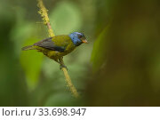 Moss-backed tanager (Bangsia edwardsi) in Choco region, Northwestern Ecuador. Стоковое фото, фотограф Nick Hawkins / Nature Picture Library / Фотобанк Лори