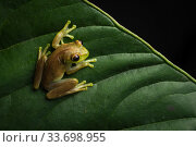 Купить «Mashpi torrenteer frog (Hyloscirtus mashpi) in cloud forest, Choco region, Northwestern Ecuador.», фото № 33698955, снято 5 июня 2020 г. (c) Nature Picture Library / Фотобанк Лори