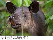 Baird's tapir juvenile (Tapirus bairdii), rainforest, Corcovado National Park, Costa Rica. Endangered. Стоковое фото, фотограф Nick Hawkins / Nature Picture Library / Фотобанк Лори