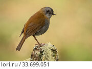 Купить «Black-billed nightingale-thrush (Catharus gracilirostris), highlands of the Talamanca mountains, Costa Rica.», фото № 33699051, снято 31 мая 2020 г. (c) Nature Picture Library / Фотобанк Лори