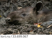 Baird's tapir (Tapirus bairdii) resting in mud pit, Corcovado National Park, Costa Rica. January. Endangered. Стоковое фото, фотограф Nick Hawkins / Nature Picture Library / Фотобанк Лори