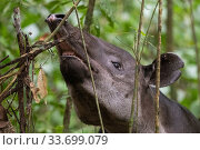 Baird's tapir (Tapirus bairdii) browsing on leaves, rainforest, Corcovado National Park, Costa Rica. Endangered. Стоковое фото, фотограф Nick Hawkins / Nature Picture Library / Фотобанк Лори