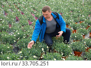 Confident farmer working with osteospermum ecklonis seedlings in greenhouse. Стоковое фото, фотограф Яков Филимонов / Фотобанк Лори