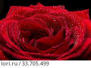 Роза крупный план. Стоковое фото, фотограф Сулимов Андрей / Фотобанк Лори