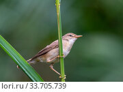 Marsh warbler (Acrocephalus palustris) near Wychbold, Worcestershire, England, UK. August. Стоковое фото, фотограф David Pike / Nature Picture Library / Фотобанк Лори