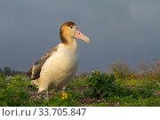 Купить «Short-tailed albatross (Phoebastria albatrus) juvenile, Sand Island, Midway, Hawaii», фото № 33705847, снято 1 июня 2020 г. (c) Nature Picture Library / Фотобанк Лори