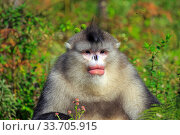 Yunnan snub-nosed monkey (Rhinopithecus bieti), adult male, Yunnan province, China. Стоковое фото, фотограф Sylvain Cordier / Nature Picture Library / Фотобанк Лори