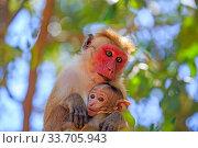 Купить «Toque macaque (Macaca sinica), mother and baby, Yala National Park, Sri Lanka», фото № 33705943, снято 5 июня 2020 г. (c) Nature Picture Library / Фотобанк Лори