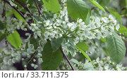 Купить «Prunus padus, known as bird cherry, hackberry, hagberry, or Mayday tree, is flowering plant in rose family Rosaceae. It is type species of subgenus Padus, which have flowers in racemes.», видеоролик № 33711375, снято 17 мая 2009 г. (c) Куликов Константин / Фотобанк Лори