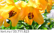 Beautiful yellow lilies close-up. The sunny day. Стоковое видео, видеограф Володина Ольга / Фотобанк Лори
