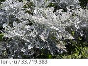 Цинерария приморская (серебристая) на клумбе в саду. Стоковое фото, фотограф Елена Орлова / Фотобанк Лори