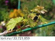 Купить «Grapevine in spring», фото № 33721859, снято 1 мая 2020 г. (c) Марина Володько / Фотобанк Лори