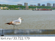Ring-billed gull (Larus delawarensis) on bank of Hudson River (2019 год). Стоковое фото, фотограф Валерия Попова / Фотобанк Лори