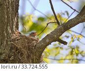 Купить «Chick with open beak in nest waiting for food», фото № 33724555, снято 19 мая 2019 г. (c) Куликов Константин / Фотобанк Лори