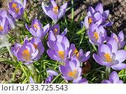 Blooming crocus in early spring. Стоковое фото, фотограф Вознесенская Ольга / Фотобанк Лори