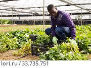 Купить «African farmer caring for young houseplants», фото № 33735751, снято 29 октября 2019 г. (c) Яков Филимонов / Фотобанк Лори