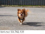 Cute smiling chihuahua dog running along the road. Стоковое фото, фотограф Евгений Харитонов / Фотобанк Лори