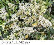 Ligustrum delavayanum. Стоковое фото, фотограф Alain Kubacsi / age Fotostock / Фотобанк Лори