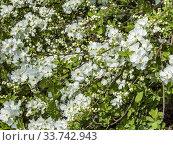 Exochorda macrantha 'The Bride'. Стоковое фото, фотограф Alain Kubacsi / age Fotostock / Фотобанк Лори