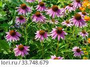 Купить «Эхинацея пурпурная (лат. Echinacea purpurea) цветет в летнем саду», фото № 33748679, снято 28 июля 2019 г. (c) Елена Коромыслова / Фотобанк Лори