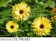 Желтая календула (лат. Calendula officinalis) цветет в саду. Стоковое фото, фотограф Елена Коромыслова / Фотобанк Лори