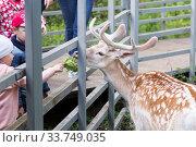 Купить «Самец европейской лани общается с детьми в зоопарке», фото № 33749035, снято 8 сентября 2019 г. (c) Evgenia Shevardina / Фотобанк Лори