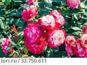 Купить «Ярко-вишнево-красные розы Ностальжи (Nostalgia)», фото № 33750611, снято 14 июля 2019 г. (c) Алёшина Оксана / Фотобанк Лори