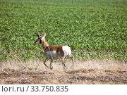 Купить «Antelope in Field pronghorn prairie Saskatchewan Canada», фото № 33750835, снято 1 июня 2020 г. (c) age Fotostock / Фотобанк Лори