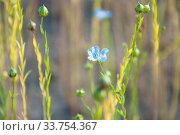 Лён синий обыкновенный, или лён посевной (Línum usitatíssimum) Стоковое фото, фотограф Алёшина Оксана / Фотобанк Лори