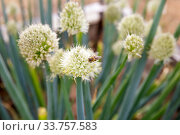 Купить «Honey Bee collects nectar on the flowers of perennial onion (Allium)», фото № 33757583, снято 12 июля 2019 г. (c) Юлия Бабкина / Фотобанк Лори