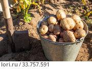 Купить «Fresh dug potato in a bucket», фото № 33757591, снято 4 сентября 2019 г. (c) Юлия Бабкина / Фотобанк Лори