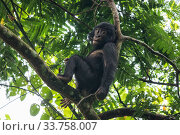 Bonobo (Pan paniscus) juvenile in tree,  Mpelu group, Malebo, Democratic Republic of Congo. Part of a family group monitored by Projet PICBOU, community... Стоковое фото, фотограф Karine Aigner / Nature Picture Library / Фотобанк Лори