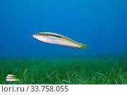 Купить «Mediterranean rainbow wrasse (Coris julis) female and three striped red mullet or surmullet (Mullus surmuletus) swim above little neptune seagrass (Cymodocea...», фото № 33758055, снято 5 июля 2020 г. (c) Nature Picture Library / Фотобанк Лори