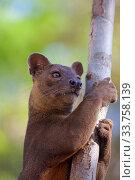 Купить «Fosa / Fossa (Cryptoprocta ferox) male, head portrait, Kirindy Forest, Western Madagascar, Endemic.», фото № 33758139, снято 10 июля 2020 г. (c) Nature Picture Library / Фотобанк Лори