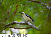 Купить «Hook-billed vanga (Vanga curvirostris)  perched,  Tsingy Bemaraha National Park, Madagascar.», фото № 33758147, снято 31 мая 2020 г. (c) Nature Picture Library / Фотобанк Лори