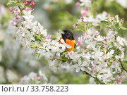 Купить «Baltimore Oriole (Icterus galbula) male with spider prey, perched in crabapple blossom in spring, Ithaca, New York, USA», фото № 33758223, снято 3 июня 2020 г. (c) Nature Picture Library / Фотобанк Лори