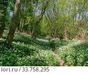 Footpath through Wild garlic / Ramsons (Allium ursinum) carpeting woodland floor in spring, Wiltshire, UK, April. Стоковое фото, фотограф Nick Upton / Nature Picture Library / Фотобанк Лори