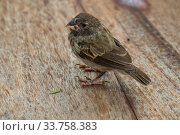 Купить «Darwin's medium ground finch (Geospiza fortis) recovering from introduced avian pox in photographer Tui De Roy's garden, Santa Cruz Island, Galapagos Islands», фото № 33758383, снято 5 июня 2020 г. (c) Nature Picture Library / Фотобанк Лори