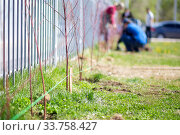 Купить «Several people are planting young trees in a city park in spring. A row of dug holes for seedlings», фото № 33758427, снято 30 апреля 2020 г. (c) Екатерина Кузнецова / Фотобанк Лори